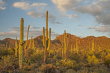USA, Arizona, Saguaro National Park. Desert Landscape Photographic Print by Cathy & Gordon Illg
