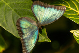 Blue Morpho Butterfly at the Butterfly Conservatory, Key West, Florida Photographic Print by Chuck Haney