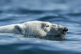 Canada, Nunavut, Repulse Bay, Polar Bear Swimming Near Harbour Islands Photographic Print by Paul Souders