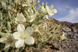 Rock Nettle in Bloom, Death Valley National Park, California Photographic Print by Rob Sheppard