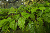 Resurrection Fern, Pleopeltis Polypodioides, Florida Photographic Print by Maresa Pryor