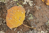 USA, Colorado, Gunnison NF. Aspen Leaf and Lichen on Rock Photographic Print by Don Grall