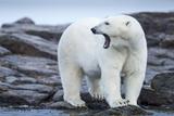 Canada, Nunavut Territory, Repulse Bay, Male Polar Bear Yawning Reproduction photographique par Paul Souders