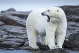 Canada, Nunavut Territory, Repulse Bay, Male Polar Bear Yawning Photographic Print by Paul Souders