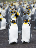 King Penguin, Falkland Islands, South Atlantic Photographic Print by Martin Zwick