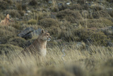 Puma Female, Torres del Paine NP, Patagonia, Magellanic Region, Chile Photographic Print by Pete Oxford