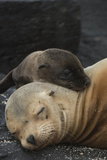 Galapagos Sea Lion Mom and New Pup, Rabida Island, Galapagos, Ecuador Photographic Print by Pete Oxford