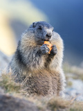 Alpine Marmot in the Hohe Tauern, Mount Grossglockner. Austria Photographic Print by Martin Zwick