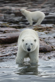 Canada, Nunavut Territory, Repulse Bay, Polar Bears Along Shoreline Photographic Print by Paul Souders