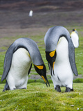 King Penguin, Falkland Islands, South Atlantic. Courtship Display Photographic Print by Martin Zwick