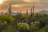 USA, Arizona, Saguaro National Park. Desert Landscape Reprodukcja zdjęcia autor Cathy & Gordon Illg