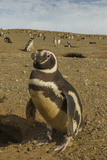 Chile, Patagonia, Isla Magdalena. Close-up of Magellanic Penguins Photographic Print by Cathy & Gordon Illg