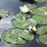Water Lily Pond Photographic Print by Anna Miller