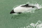 Chile, Patagonia, Straits of Magellan. Commerson's Dolphin Photographic Print by Cathy & Gordon Illg
