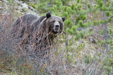 Grizzly Bear in Autumn Photographic Print by Ken Archer