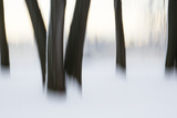 Canada, Ottawa, Ottawa River. Abstract of Tree Trunks in Snow Photographic Print by Bill Young