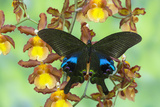 The Peacock Swallowtail Butterfly, Papilio Arcturus Photographic Print by Darrell Gulin