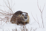 Beaver, Winter Food Photographic Print by Ken Archer