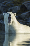 Canada, Nunavut, Repulse Bay, Polar Bears Yawning in Water Photographic Print by Paul Souders