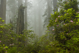 USA, California, Redwoods NP. Fog and Rhododendrons in Forest Photographic Print by Cathy & Gordon Illg