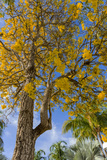 Tabula Tree Flowering in Spring in Key West, Florida, USA Photographic Print by Chuck Haney