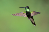 Magnificent Hummingbird in Flight Photographic Print by Richard Wright