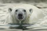 Canada, Repulse Bay, Polar Bear Along Shoreline of Harbour Islands Photographic Print by Paul Souders