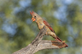 USA, Arizona, Amado. Female Cardinal on Branch Photographic Print by Wendy Kaveney