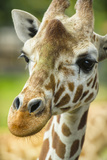 Close-up of a Reticulated Giraffe at the Jacksonville Zoo Photographic Print by Rona Schwarz