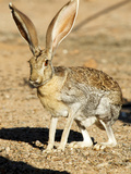 An Antelope Jackrabbit (Lepus Alleni) Alert for Danger Photographic Print by Richard Wright