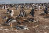 Falkland Islands, Sea Lion Island. Gentoo Penguin Colony Photographic Print by Cathy & Gordon Illg