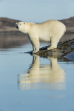 Canada, Nunavut, Repulse Bay, Polar Bears Standing Along Shoreline Photographic Print by Paul Souders