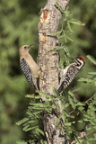Arizona, Amado. Gila Woodpecker and Ladder-Backed Woodpecker on Tree Photographic Print by Wendy Kaveney
