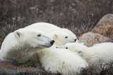 Canada, Manitoba, Churchill, Polar Bear and Young Cubs Resting Photographic Print by Paul Souders