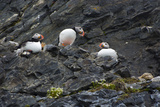 Norway. Svalbard. Krossfjord. Nesting Colony of Puffins Photographic Print by Inger Hogstrom