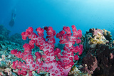 Soft Coral (Dendronephthya), Rainbow Reef, Fiji Photographic Print by Pete Oxford