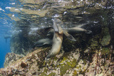 Galapagos Sea Lion Underwater, Galapagos, Ecuador Photographic Print by Pete Oxford