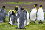 King Penguin Colony on the Falkland Islands, South Atlantic Photographic Print by Martin Zwick