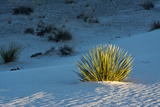 Sand Patterns, Yucca, White Sands Nm, Alamogordo, New Mexico Photographic Print by Michel Hersen