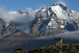 Guanaco with Cordiera del Paine in Back, Patagonia, Magellanic, Chile Photographic Print by Pete Oxford