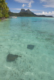 French Polynesia, Bora Bora. Haapiti. Shallow Lagoon with Stingrays Photographic Print by Cindy Miller Hopkins
