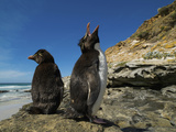 Falkland Islands. Rockhopper Penguin Calling Photographic Print by Ellen Anon