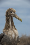 Waved Albatross Juvenile, Espanola Island, Galapagos Islands, Ecuador Photographic Print by Pete Oxford