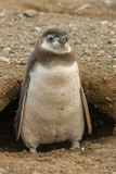 Chile, Patagonia, Isla Magdalena. Magellanic Penguin Chick at Burrow Photographic Print by Cathy & Gordon Illg
