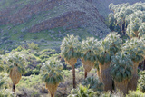 California, Palm Springs, Indian Canyons. California Fan Palm Oasis Photographic Print by Kevin Oke