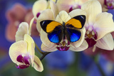 Brush-Footed Butterfly, Callithea Davisi on Orchid Lámina fotográfica por Gulin, Darrell