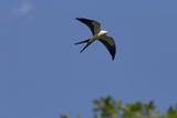 Swallow-Tailed Kite in Flight, Kissimmee Preserve SP, Florida Photographic Print by Maresa Pryor