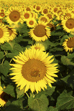 Europe, Italy, Tuscan Sunflowers Photographic Print by John Ford