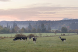 Canada, B.C., Vancouver Island, Cowichan Valley. Cows at a Dairy Farm Photographic Print by Kevin Oke