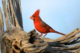 Northern Cardinals (Cardinalis Cardinalis) in the Family Cardinalidae Photographic Print by Richard Wright